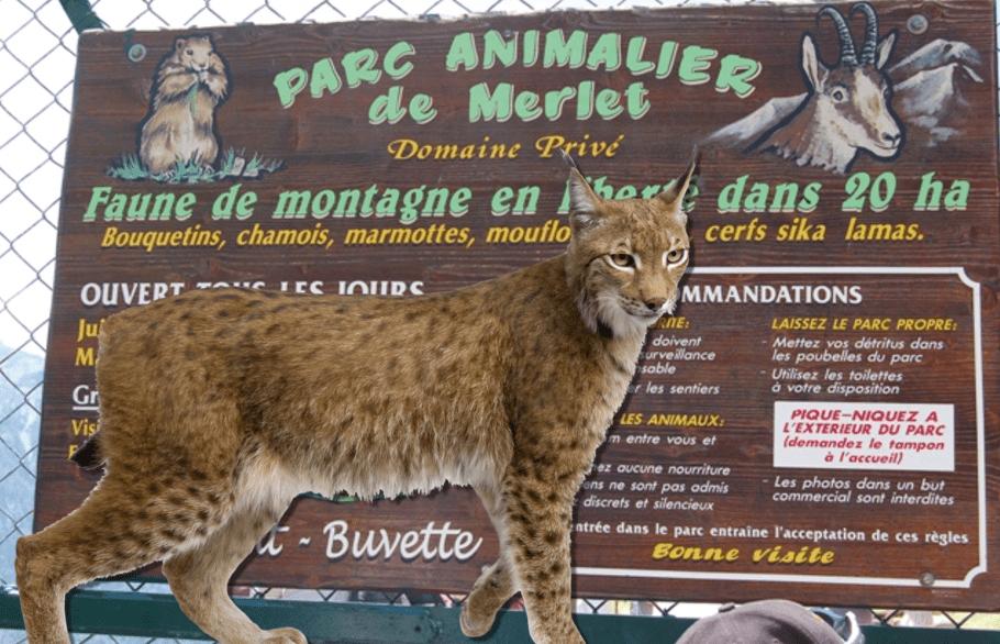 Lynx Attacks deer in Chamonixs parc merlet